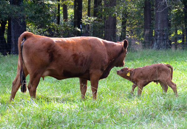 hewell tarentaise cattle